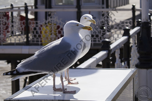 Two gulls on Brighton Pier