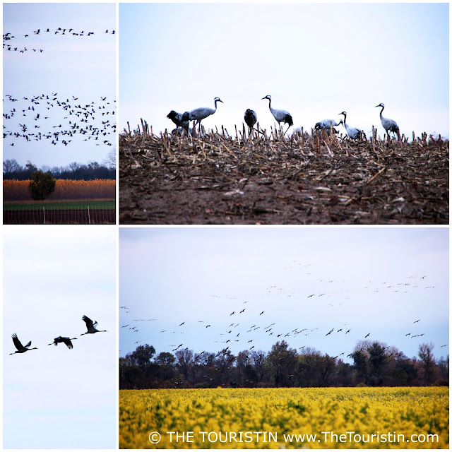 Grey cranes flying over canola fields and cranes grazing in a field.
