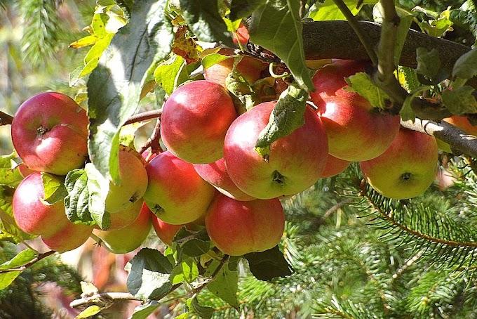 Chaubatia Garden in Ranikhet –एशिया का सबसे बड़ा सेबों का बगीचा