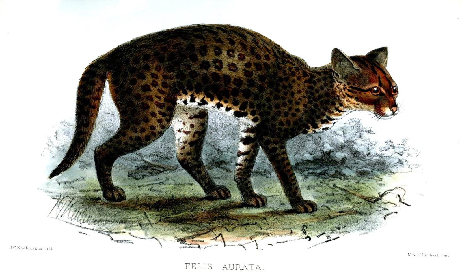 Gato-Dourado-Africano (Profelis aurata)