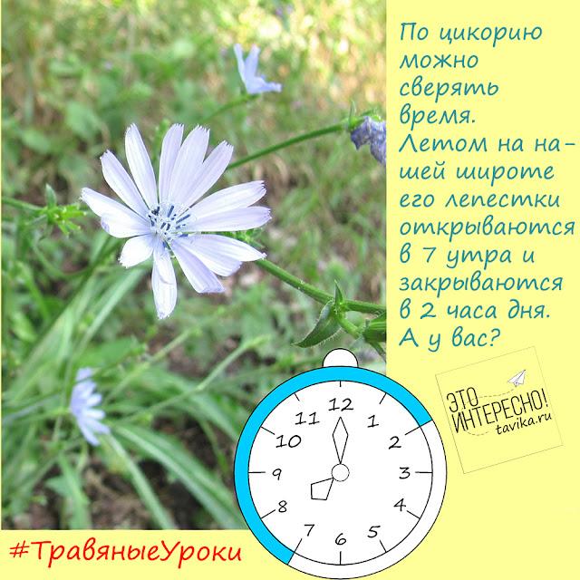цикорий - барометр и часы
