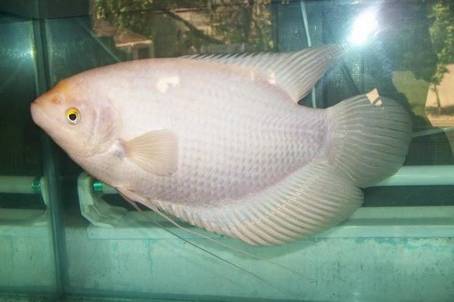 Indonesian Freshwater Fish Community Iffc Gurame Padang