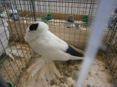 german pigeons