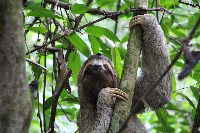 Aprueban Ley para declarar a los perezosos de 2 y 3 dedos como símbolos nacionales de la fauna silvestre de Costa Rica