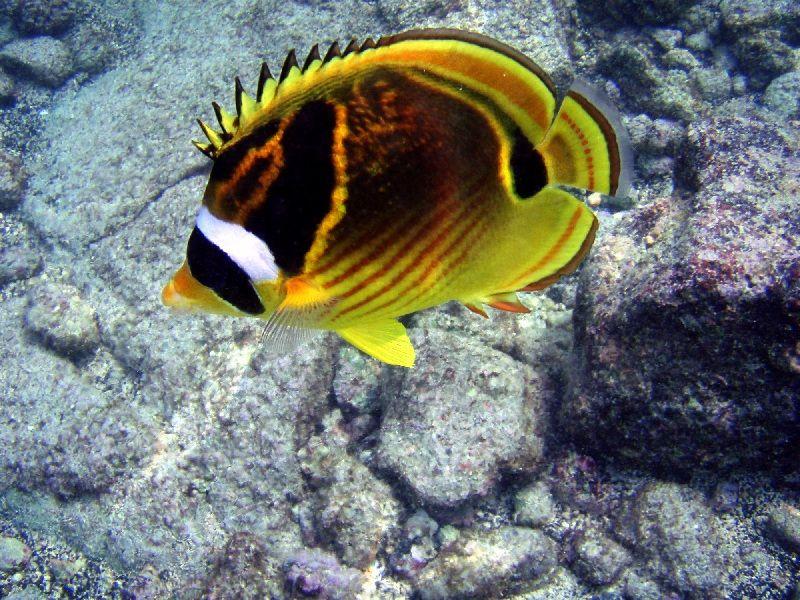 Gambar Ikan Laut Kepe-Kepe