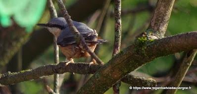 Oiseaux du jardin :  Sitelle Torchepot