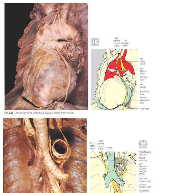 Trachea and left and right main bronchi, exposed after removal of the anterior part of the aortic arch.