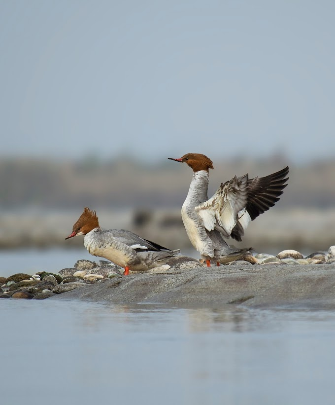 Common Merganser females