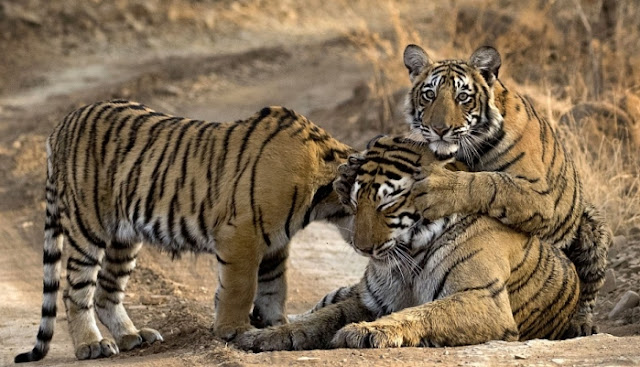 0eb0bd0761667 These adorable pictures show a family of tigers enjoying a cuddle in India.  They were captured by pharmaceutical businessman Anshul Sikri along a  forest ...