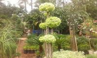tempat jual bonsai anting putri tangerang