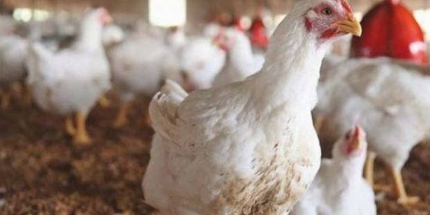 بلاغ جديد للفيدرالية البيمهنية لقطاع الدواجن بخصوص الأسعار الملتهبة للدجاج و هذه رسالة التجار للمستهلك
