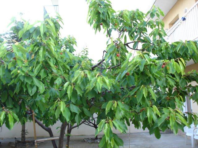 arbres cirerer prunus avium l. Black Bedroom Furniture Sets. Home Design Ideas