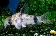 Jenis Ikan Corydoras reynoldsi