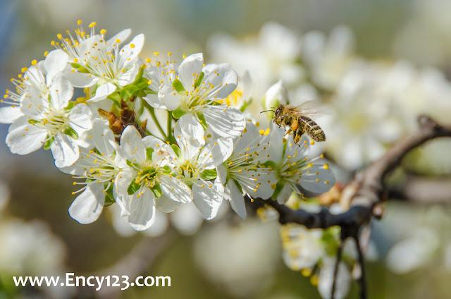 Honey bee on a flower