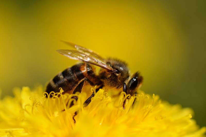 abelha num dente-de-leão