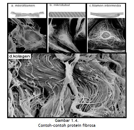 Contoh-contoh protein fibrosa