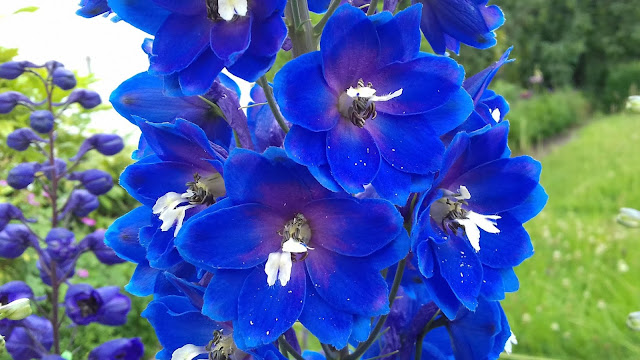 Blue Bird pacific Giant Delphinium with interesting tufty black and white eye