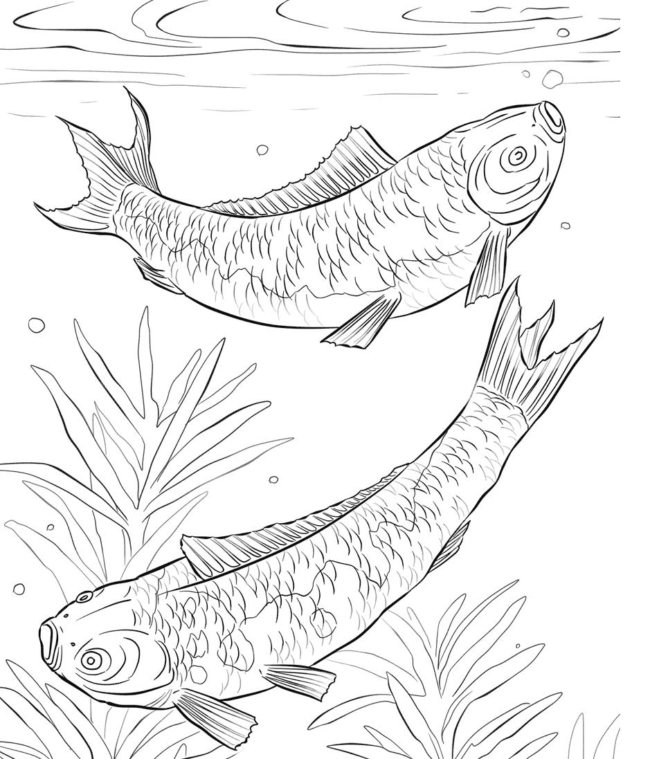 Kumpulan Mewarnai Gambar Sketsa Ikan Koi Hitam Putih
