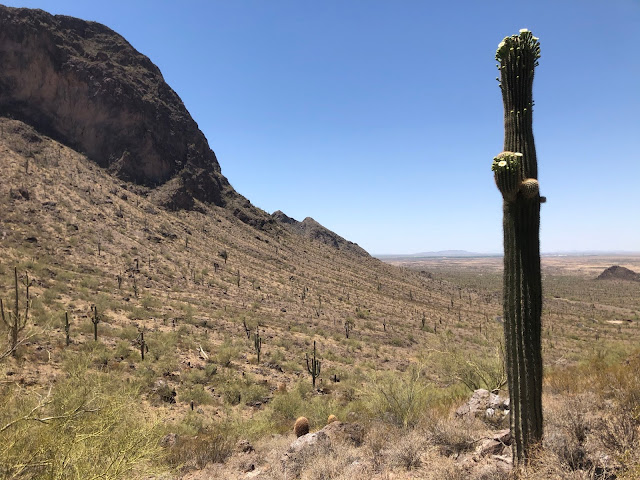 valley of saguaro cacti in front of a mountain