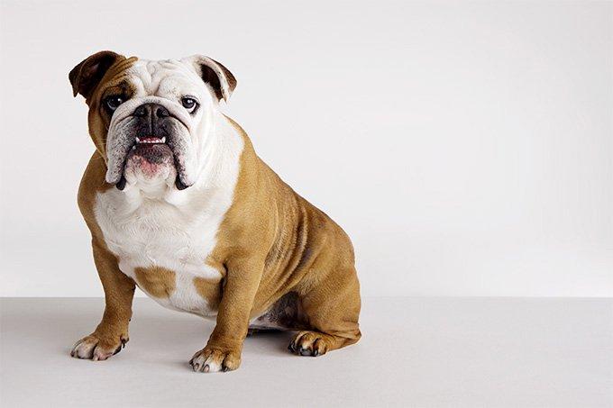 Bulldog, Most Popular British Dog Breeds