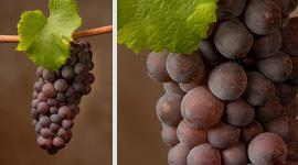 Pinot grigio grapes for Ramato wines