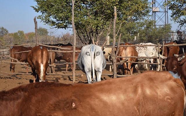 Υπάρχει λόγος που κάποιοι ζωγραφίζουν μάτια στους πισινούς των αγελάδων