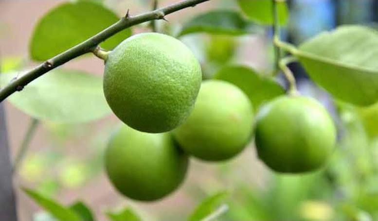 Amefurashi Bibit Benih Seed Buah Jeruk Nipis Cegah Kanker dengan Jeruk Nipis Kalimantan Selatan