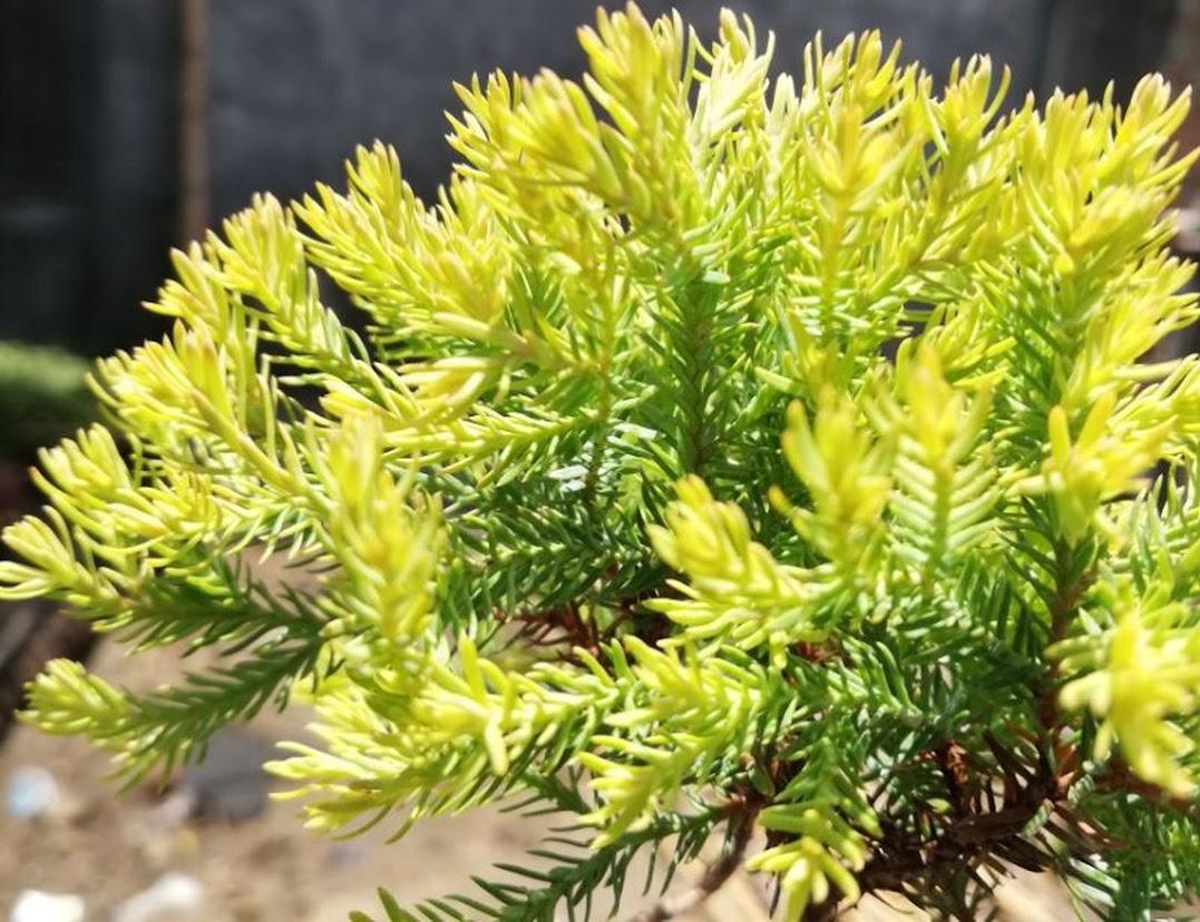 Tanaman hias Pohon Cemara mini Rain Gold Ren Gold Kuning Kediri