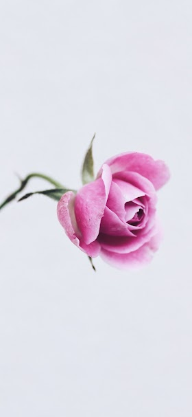Pale pink flower wallpaper