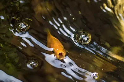 Fish Gasping for Air: Do Fish Need Oxygen? How to Increase Oxygen in Fish Tank