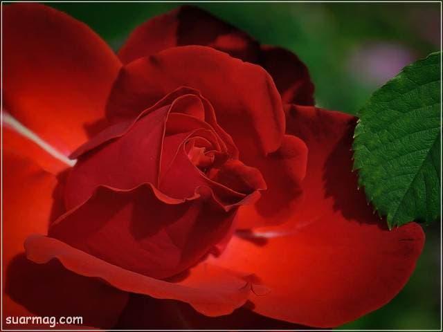 ورد احمر طبيعي 13 | Natural red roses 13
