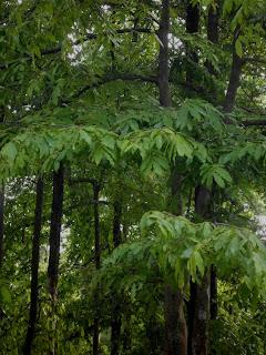 Pohon Janglot, Pohon Langka dan Unik Bagus Buat Bonsai