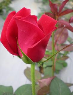 potensi usaha budidaya mawar