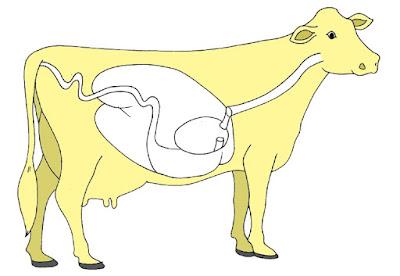 Mekanisme pencernaan makanan pada hewan ruminansia