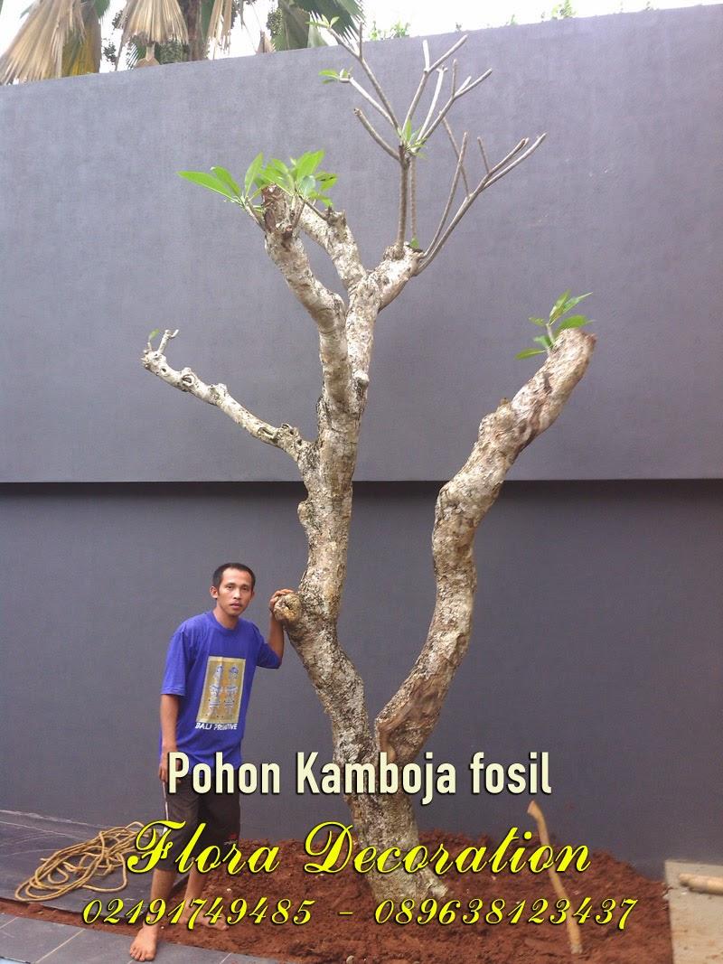 Harga jual tanaman kamboja fosil