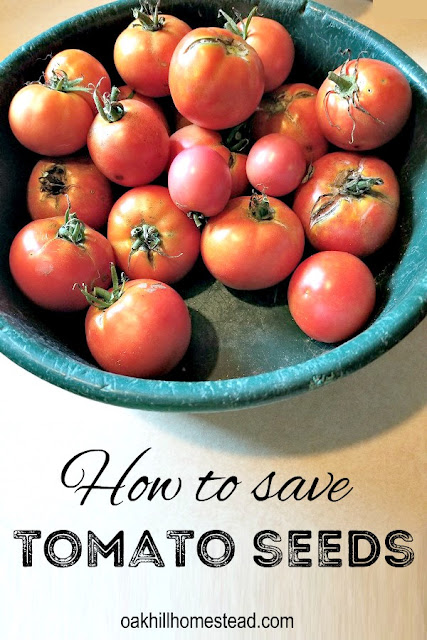 How to save tomato seeds from your garden to plant next spring, using the method that mimics nature.