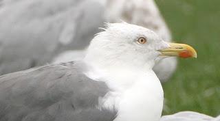 Yellow-legged Gull, showing head, gonys spot, orbital ring