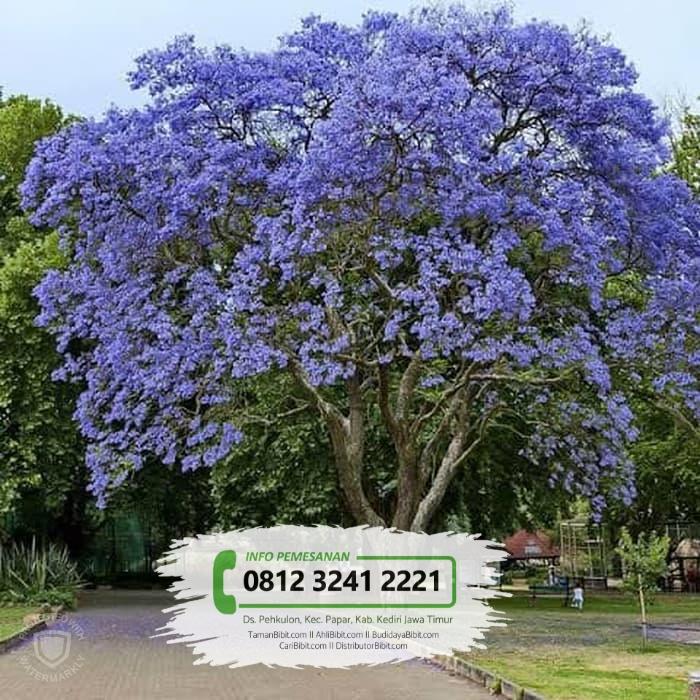 Jual Bibit Pohon Cakaranda