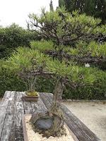 Japanese pine bonsai - Kyoto Botanical Gardens, Japan