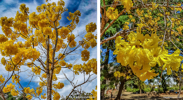 Florada dos ipês em Brasília