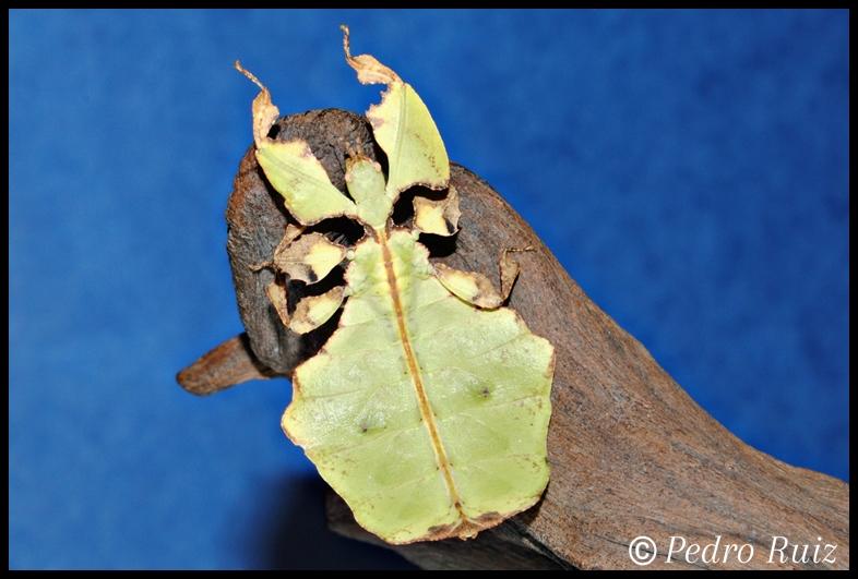 Ninfa L5 de Phyllium giganteum, 6,4 cm de longitud