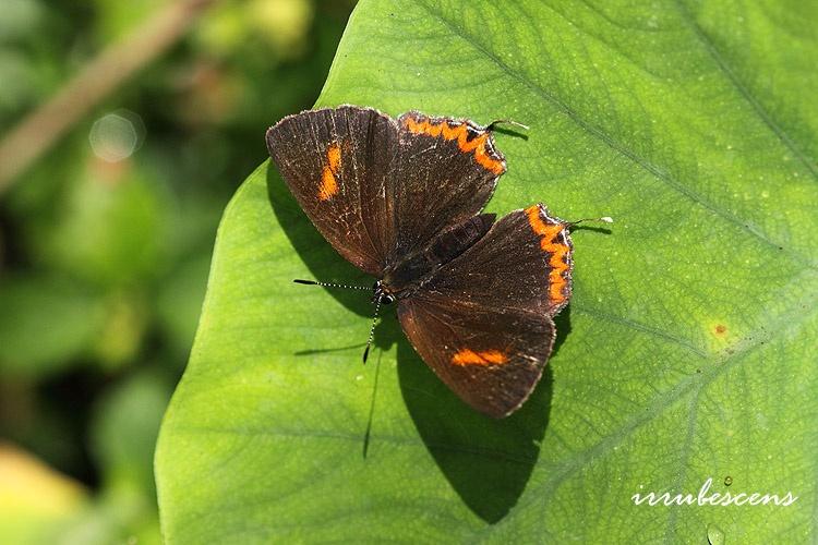 臺灣蝴蝶圖鑑 Butterflies of Taiwan: L04-1 紫日灰蝶