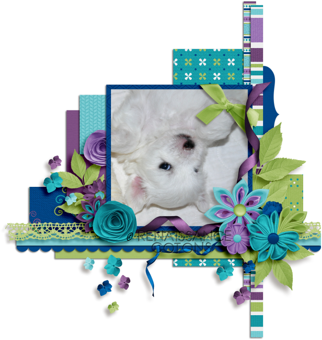 ♥Coton de Tulear Breeder in CT♥