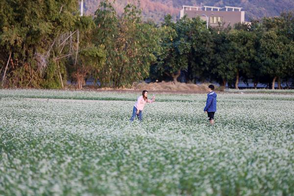 台中霧峰蕎麥花海超夢幻,33公頃浪漫12月雪搭配田園風光好好拍