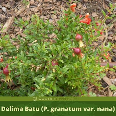 Delima Batu (Punica granatum var. nana)