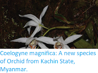 http://sciencythoughts.blogspot.co.uk/2017/11/coelogyne-magnifica-new-species-of.html