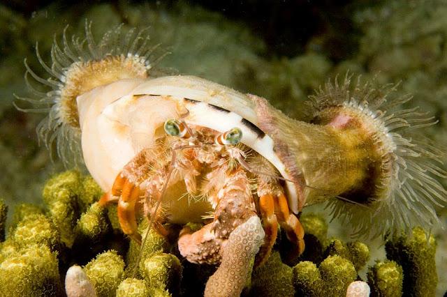 hermit crab - sea anemones