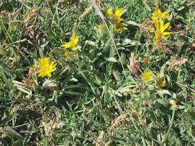 alpine flowers, Rocky Mountain National Park