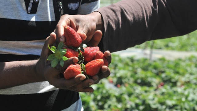 Δεκαεξάχρονοι εργάτες – δούλοι από το Άργος στα φραουλοχώραφα της Μανωλάδας