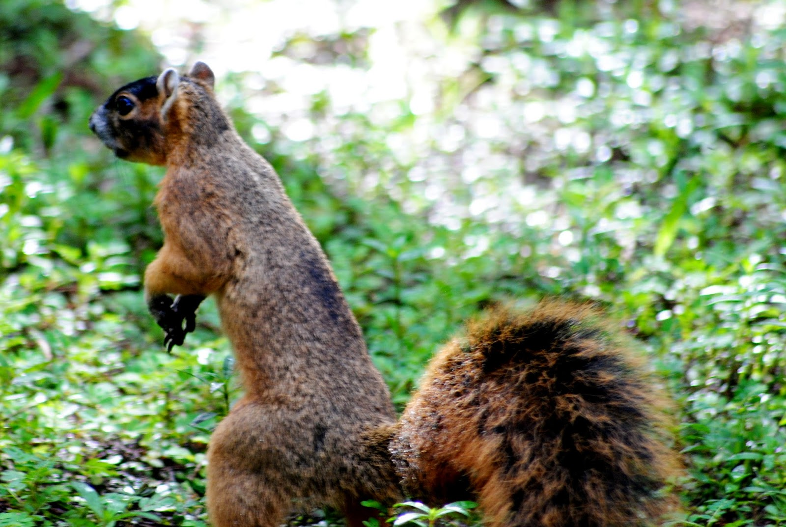 Field Notes and Photos: Big Cypress Fox Squirrel (Sciurus ...